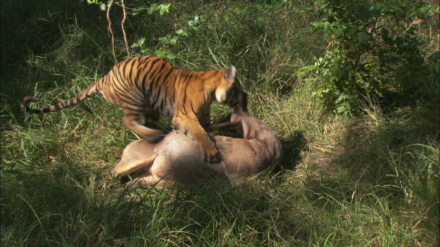 A tiger attacks a sambar deer carcass.