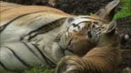 A tiger cub plays with its mother while lying on the ground.