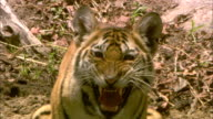 A tiger cub snarls on a forest floor in Pench, India.