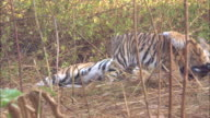 Tiger cubs and mother, Pench, India. Available in HD.