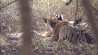 Tiger cubs feed on langur kill, Pench, India. Available in HD.