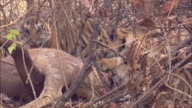 Tiger cubs feed on sambar deer kill, Pench, India. Available in HD.