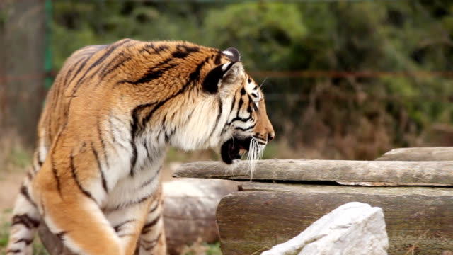Tiger in zoo.