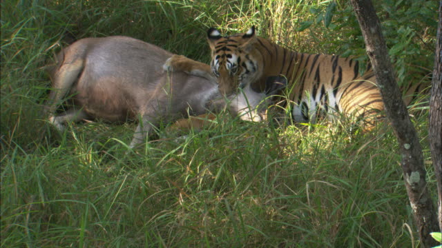 A tiger kills a sambar deer in grass in Pench, India.