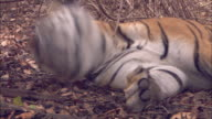A tiger lies sleeping in the forest of Pench, India.