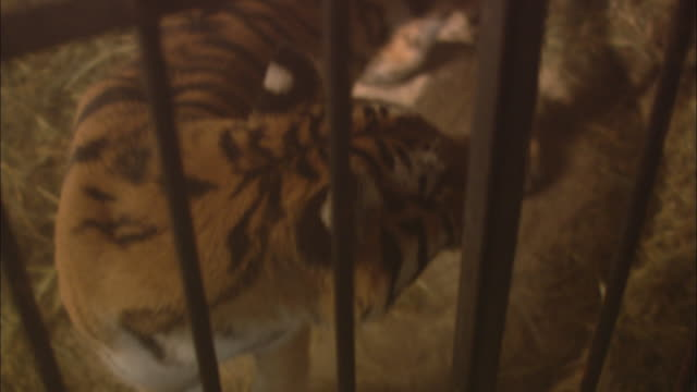 A tiger paces in a cage.