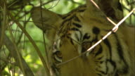 A tiger peers out of the undergrowth