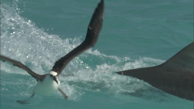 Tiger shark (Galeocerdo cuvier) attacks laysan albatross (Phoebastria immutabilis), Hawaii