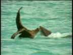 Tiger shark grabs young albatross on sea surface and thrashes around attempting to eat it, Leeward Islands