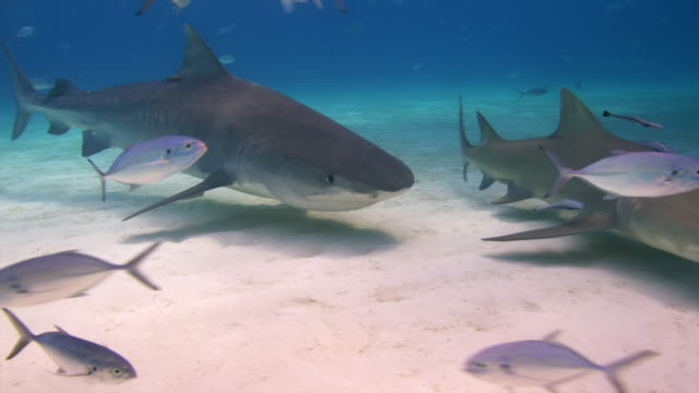 Tiger Shark swims up, lemon sharks on side & background, jacks in foreground. Shark swims away. Bahamas