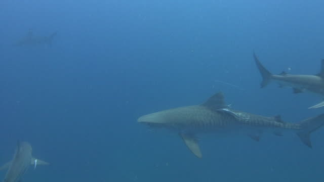 Tiger Shark (Galeocerdo Cuyabeno)