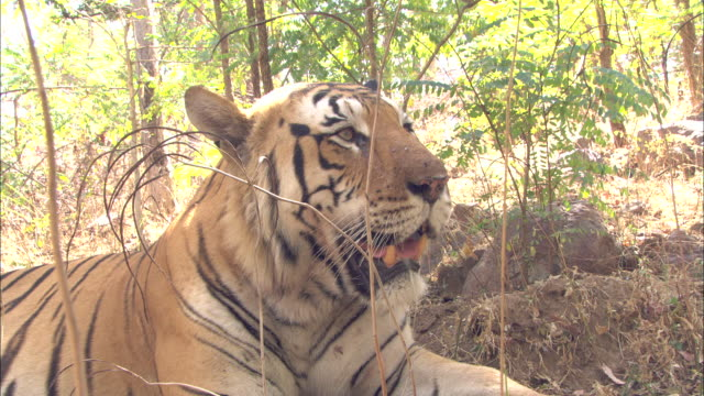 Tiger snarls in forest, Pench, India. Available in HD.