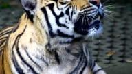 Tiger ,Thailand