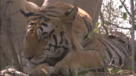 A tiger twitches its ears at buzzing flies as it rests.