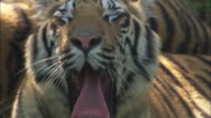A tiger yawns while it rests.