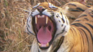 A tiger yawns while resting in Pench, India.