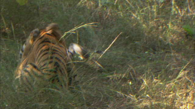 Tigers play fight in grass.