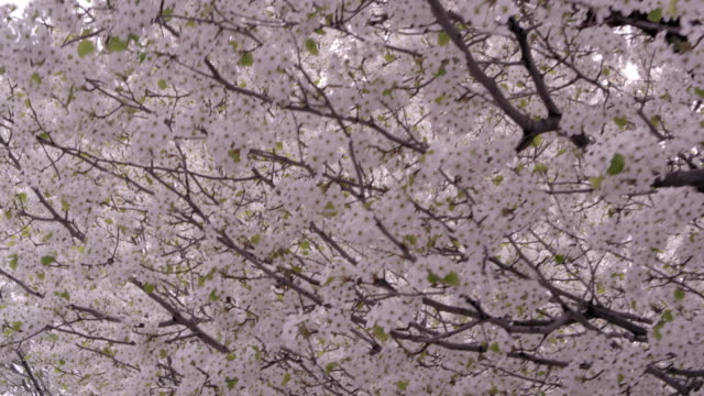 Tight moving shot under blossoming trees.