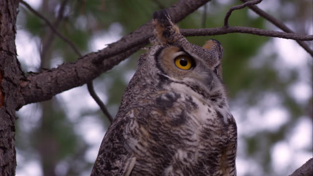 Tight shot of great horned owl looking around in a tree.