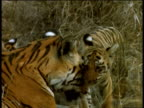 Tigress and two cubs rest, Kanha National Park, India