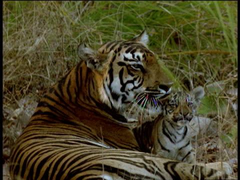 Tigress licks and grooms playful young tiger cub, Kanha National Park, India