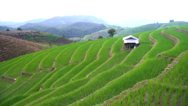 tilt: a small hut on delighted rice terraced field