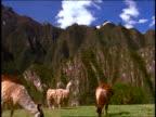 tilt down Andes mountains to llamas / alpacas grazing in grass / Machu Picchu, Peru