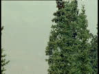 Tilt down conifer in snowfall to Moose at base of tree, Alaska