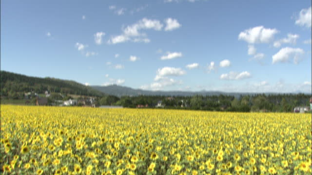 Tilt down from clouds in blue sky to field of bobbing sunflowers