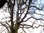Tilt down from leafless branches to woodlands below in autumn UK