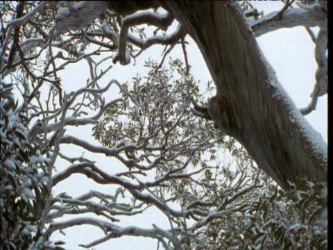 Tilt down from snow gum trunk to leaves during snow storm, Australian Alps, Kosciuszko National Park, New South Wales
