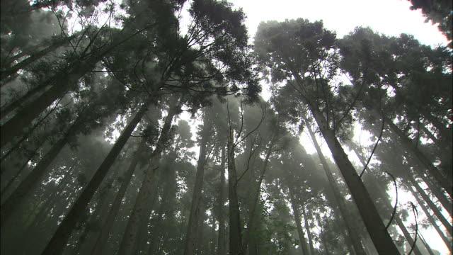 Tilt down from treetops in mist to lush undergrowth, Aki-ota
