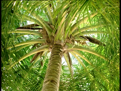 Tilt down from underneath green coconut palm to sandy beach and clear turquoise sea, Laccadive Islands