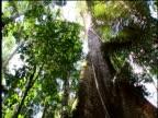 Tilt down huge tree in Amazon rainforest
