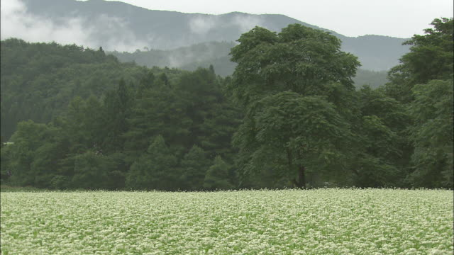 Tilt down onto field of buckwheat flowers, Japan
