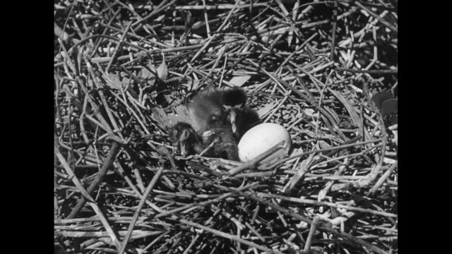 Tilt down PAN over Ibis nests in marsh reeds / VS good shots of Ibis chicks breaking out of eggs / nest among reeds / MS man opening up reeds and...
