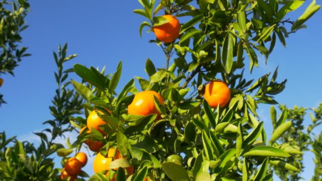 tilt down, sunlight on ripe mandarines and leaves against blue sky