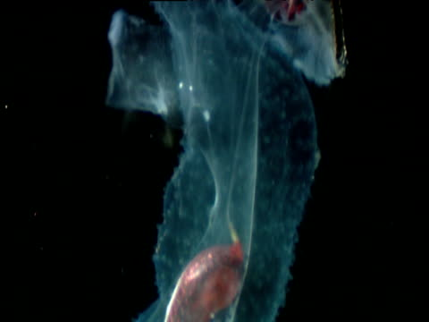 Tilt over translucent Carinaria mollusc swallowing Stomias fish