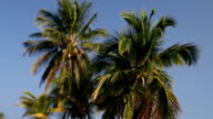Tilt Shift Video of 3 Coconut Palms against sky