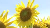 Tilt shot of sunflowers