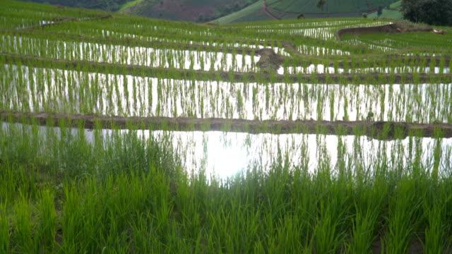 tilt: sunlight reflect on fresh water in delighted rice terrace