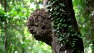 Tilt up 4K, Ant nest in rainforest.