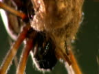 Tilt up as tiny food-stealing Argyrodes spider steals meal from large Nephila spider