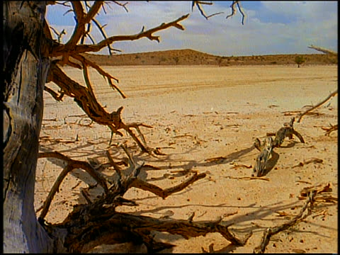 tilt up dead tree + desert to blue sky with wispy clouds / Kalahari Desert, South Africa