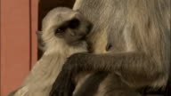 Tilt up from baby Hanuman langur suckling to mother's face Tomb of Akbar the Great Available in HD.