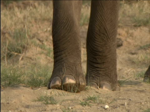 Tilt up from feet to head of elephant eating