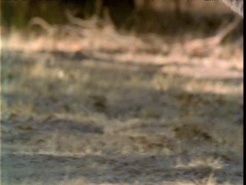 Tilt up from legs as grey kangaroo hops in bush, Victoria