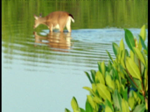 Tilt up from mangrove branch to Key deer crossing swamp, Florida Keys