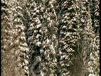 Tilt up from snow covered ground to reveal snow covered conifers.