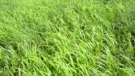 Tilt up of green meadow grass moved by strong winds